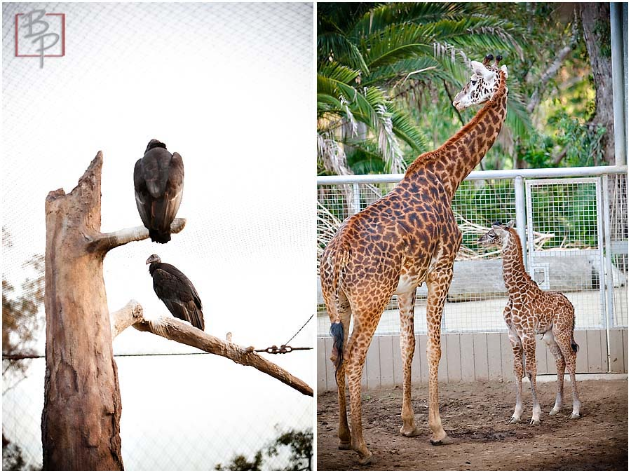 San Diego Zoo Vultures and Giraffes